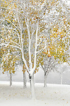 Leaves, still clinging to the trees, provide a spot of color as a heavy and wet snow falls as the season's first snowfall. (DOUG WOJCIK/STEVENS POINT JOURNAL)