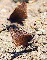 Propertius duskywing muding