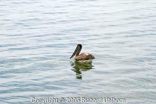 A pelican swims along the Caribbean shoreline in Costa Maya, Mexico..shore bird, pelican, swimming, Carribean, Mexico