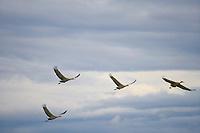 Sandhill Cranes during autumn migration at Creamer's Field Migratory Waterfowl Refuge, Fairbanks, Alaska