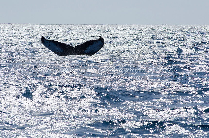 Humpback Whales<br /> Silver Banks<br /> Dominican Republic