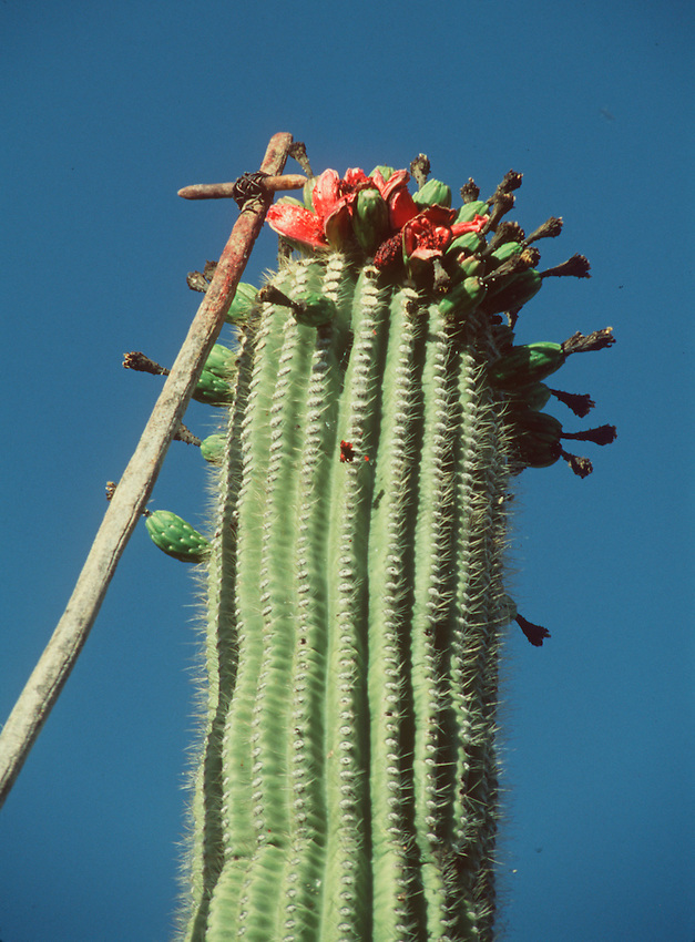 A harvesting pole is used to knock off fruit from a saguaro cactus at Saguaro National Monument.