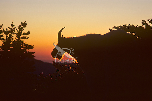 Mountain goat (Oreamnos americanus) billy at sunset, Pacific N.W.