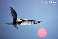 MC59-063b  Arctic Tern - flying above island at sunset - Machias Seal Island, Bay of Fundy - Sterna paradisaea