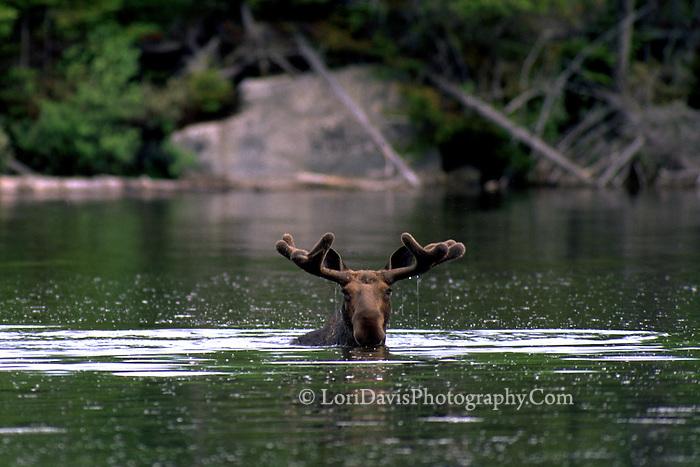 """#M1 """"Marvin"""" Bull Moose in Velvet, in Pond"""