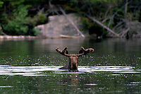 "#M1 ""Marvin"" Bull Moose in Velvet, in Pond"