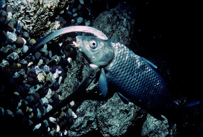Sea Lampreys (Petromyzon marinus) on Carp (Cyprinus) host.