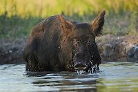 Feral Pig (Sus scrofa), mother with young drinking from pond, Fennessey Ranch, Refugio, Corpus Christi, Coastal Bend, Texas Coast, USA