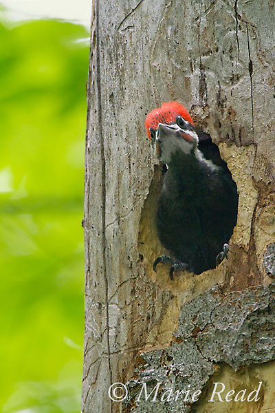 Pileated Woodpecker (Dryocopus pileatus), large nestling, near fledging age, looking out of nest hole watching for parent to arrive to feed, New York, USA (Topaz DeNoise applied)