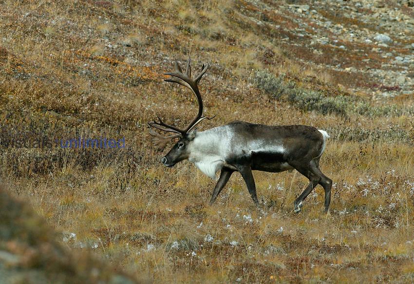 Caribou on hillside. Denali, AK