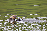 Se otter feeds on clams in Captain's Bay, Dutch Harbor, Aleutian Islands, Alaska