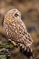 Short-eared Owl, Washington