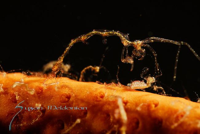 Skeleton shrimp female down, interaction between male and female skeleton shrimp, female is pregnant, Lembeh Straits, Sulawesi Sea, Indonesia, Amazing Underwater Photography
