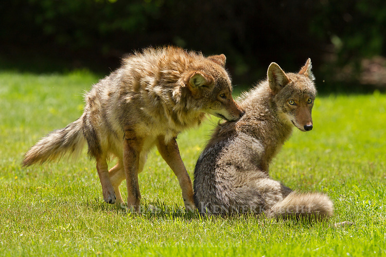 Coyote (Canis latrans) male pulling winter fur off sub-adult in spring, Gloucester, Cape Ann, eastern Massachusetts