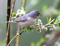 Adult Lucy's warbler