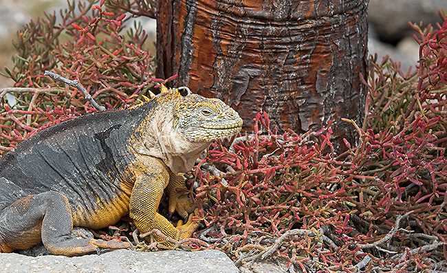 Large and colorful land iguanas roam the Galapagos Islands.  These lizards will sometimes wait for months under a cactus waiting for a tasty morsel to fall to the ground.