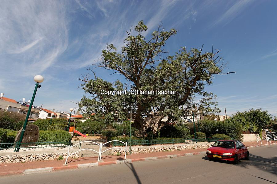 Israel, Coastal Plain. Sycamore tree (Ficus Sycomorus) in Ramat Gan