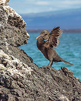 flightless cormorant, or Galapagos cormorant, Phalacrocorax harrisi, Isabela Island, Galapagos Islands, Ecuador, Pacific Ocean
