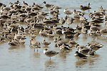 Willet, Catoptrophorus semipalmatus, flock at waters edge, Florida Everglades. .USA....