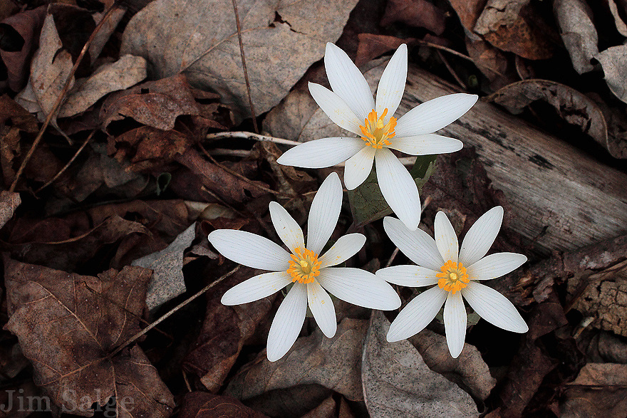 A trio of bloodroot flowers emerges in early spring in Central, New Hampshire