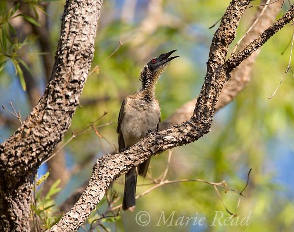 Helmeted Friarbird (Philemon buceroides), calling, Kakadu National Park, Northern Territory,  Australia
