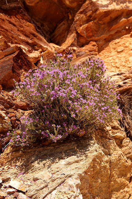 Wild Thyme flowering in the sandstone rocks of Ios, Cyclades Islands Greece