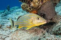 Bluestriped Grunt, Haemulon sciurus, Bonaire, Netherland Antilles, Netherlands, Caribbean Sea, Atlantic Ocean