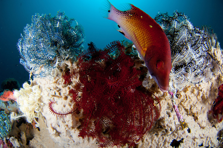 Diana's hogfish: Bodianus diana (or may be Bodianus dictynna), swims between 3 crinoid, Lembeh Strait