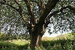 Israel, Lower Galilee, Atlantic Pistachio tree in Ein Ulam
