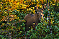 Cow Moose (Alces alces) at dawn in black spruce/boreal forest, fall, Cape Breton Highlands National Park, Nova Scotia, Canada.