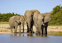 African Bush Elephants (Loxodonta africana) drinking, Chobe National Park, Savuti, Botswana, Africa