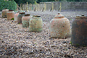 Traditional terracotta forcing pots, Heligan, Cornwall, mid February.