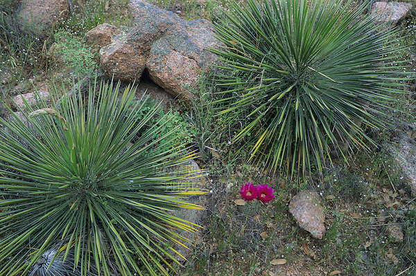 Lace Cactus, Echinocereus reichenbachii and yucca, Enchanted Rock State Natural Area, Fredericksburg,Texas, USA