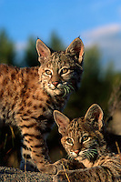 Young Bobcats, approximately 3 months old