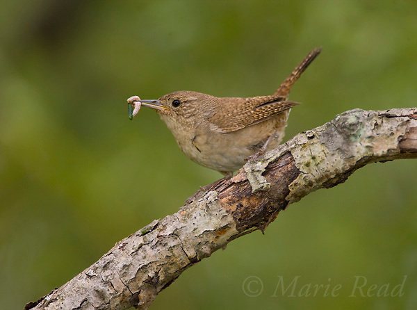 House Wren (Troglodytes aedon) bringing food (caterpillar) for its young, Ithaca, New York, USA
