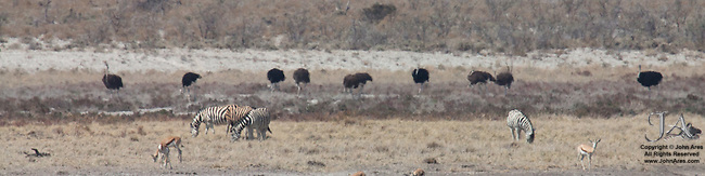 Flock of 10 ostrich with zebra and springbok in foreground in Etosha National Park, Namibia