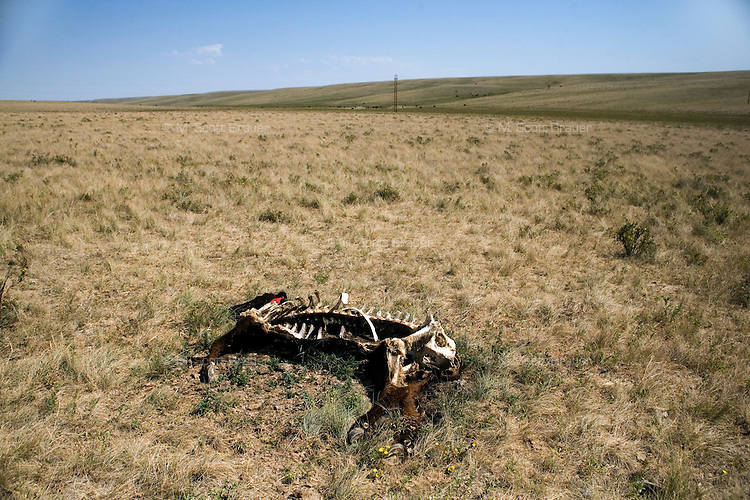 A dead cow lays in a field in rural north-central Montana, USA.