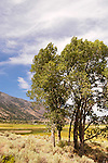 Green cottonwood trees and clouds along the base of the Carson Range, Nev., summer