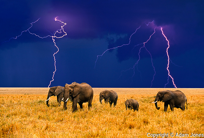 African Elephants and lightning storm, Loxodonta africana,.Masai Mara Game Reserve, Kenya.Digital Composite