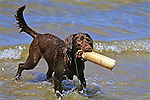 Chocolate Lab Mix Retrieving