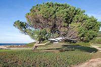 Pinie, Schirmkiefer, am Strand vom Wind schief gewachsen, Windschur, Schirm-Kiefer, Kiefer, Pinus pinea, Stone Pine, Umbrella Pine