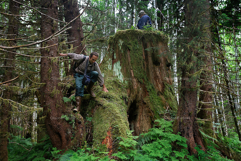 A stump of a large tree with two springboard notches (used until the 1940s) was cut prior to the surrounding forest in the mid-'60s.  The forest is regenerating  with productive alluvial soils near Appleton Cove. .Ground truthing expedition by Bob Christensen,Richard Carstensen, Keynon Fields and Eric Ringler, to see investigating past and proposed timber projects in the Tongass National Forest.  Looking at the past and trying to determine the effect of proposed cuts..The group downloads information and compared it to what was collected in old field notes.  They add current pictures and information from wireless GPS units they wear in their hats as they hike through the forest and estuaries.   They are mapping the forest, uncut, proposed cut and old logging sites to see what is there..They work and sleep at Appleton Cove forest service cabin carrying a generator to power their computers.  Then they go by boat to the estuary running out of a forest..