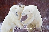 01874-13119 Polar Bears (Ursus maritimus) sparring Churchill Wildlife Management Area, Churchill, MB