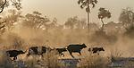 African buffalo herd, Okavango Delta, Botswana