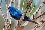 Passaros do Cerrado. Porphyrospiza caerulescens, Campainha-azul. Foto de Sergio Amaral.