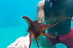 A man handling a day octopus while snorkeling off of the island of Maui, Hawaii, USA