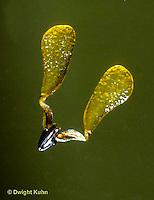MK11-017d  Milkweed - close-up pollinium, double pollen sacs - Asclepias syriaca