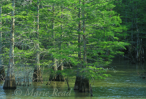 Bald Cypress swamp, White River National Wildlife Refuge, Arkansas, USA<br /> Slide # AAR-17