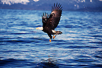 A Bald eagle (Haliaeetus leucocephalus) makes a successful catch of fish while in flight.