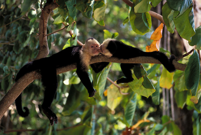 COSTA RICA, MANUEL ANTONIO NP, RAIN FOREST, WHITE-FACED CAPUCHIN MONKEYS, BABY PLAYING